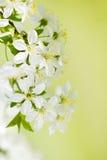 Flor de la flor blanca de la cereza salvaje en primavera Fotos de archivo