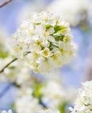 Flor de la flor blanca de la cereza salvaje en primavera Imagen de archivo libre de regalías