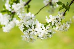 Flor de la flor blanca de la cereza salvaje en primavera Foto de archivo