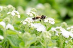 Flor de la flor blanca en un jardín Fotografía de archivo
