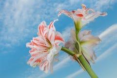 Flor de la flor de Amaryllis en las nubes y el fondo del cielo azul Imagen de archivo libre de regalías