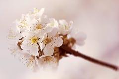 flor de la flor de cerezo Fotografía de archivo libre de regalías