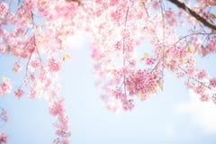 Flor de la flor de cerezo o de Sakura con el cielo azul Foto de archivo libre de regalías