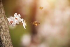 Flor de la flor de la cereza en primavera Fotos de archivo libres de regalías