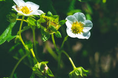 Flor de la flor de la fresa en archivada Foto de archivo libre de regalías