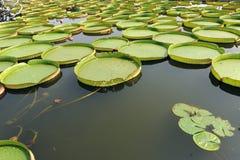 Flor de la flor de Lotus Fotos de archivo