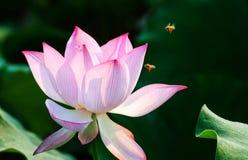 Flor de la flor de Lotus en la charca Fotos de archivo
