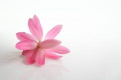 Flor de la flor del cacto en blanco Imagen de archivo