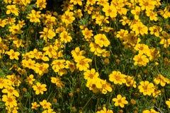 Flor de la flor del cosmos, flor del cosmos de Tailandia, flores hermosas en jardín Foto de archivo libre de regalías
