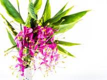 Flor de la flor del globba, chiangmai Tailandia Foto de archivo libre de regalías