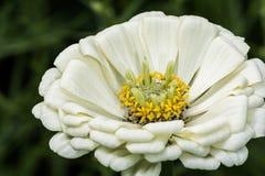 Flor de la flor del Zinnia blanco en verano Foto de archivo