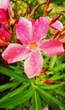 Flor de la flor durante la estación de lluvias Foto de archivo libre de regalías