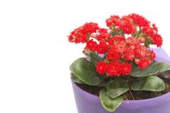 Flor de la flor el flamear Katy en maceta Fotografía de archivo libre de regalías