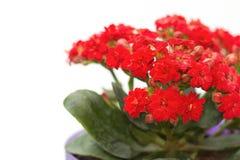 Flor de la flor el flamear Katy en maceta Imágenes de archivo libres de regalías