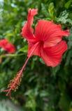 flor de la flor en samui de la KOH Fotografía de archivo
