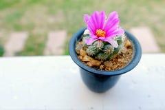 Flor de la floración del cactus Imágenes de archivo libres de regalías