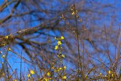 Flor de la forsythia en enero foto de archivo