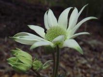Flor de la franela con la mosca imagen de archivo