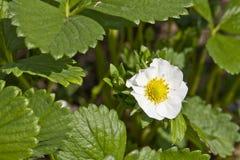Flor de la fresa Imágenes de archivo libres de regalías
