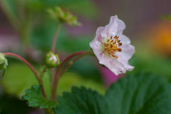 Flor de la fresa Foto de archivo