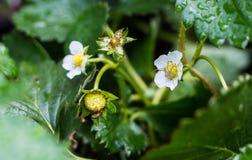 Flor de la fresa Imagenes de archivo