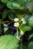 Flor de la fresa Fotos de archivo libres de regalías