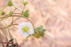 Flor de la fresa en el jardín Foto de archivo