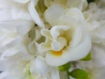 Flor de la fresia - blanco Foto de archivo libre de regalías