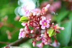 Flor de la fruta de estrella Imagen de archivo libre de regalías