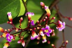 Flor de la fruta de estrella Fotos de archivo libres de regalías