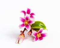 Flor de la fruta de la manzana de estrella Fotos de archivo libres de regalías