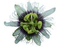 Flor de la fruta de la pasión Foto de archivo libre de regalías