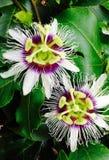 Flor de la fruta de la pasión fotos de archivo