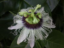 Flor de la fruta de la pasión Fotos de archivo libres de regalías