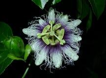 Flor de la fruta de la pasión imagen de archivo libre de regalías