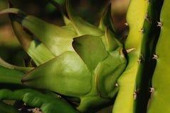 Flor de la fruta del dragón Imágenes de archivo libres de regalías