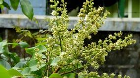 Flor de la fruta del Longan imágenes de archivo libres de regalías