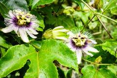 Flor de la fruta de la pasión Foto de archivo