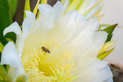 Flor de la fruta y de las abejas del dragón Imagenes de archivo