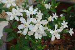 Flor de la gardenia en árbol Imagenes de archivo
