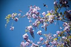 Flor de la glicinia de la lila Imágenes de archivo libres de regalías