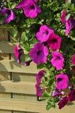 Flor de la gloria de mañana Fotografía de archivo