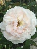 Flor de la gotita Fotos de archivo