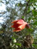 Flor de la granada fotos de archivo libres de regalías