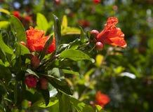 Flor de la granada Imagenes de archivo