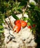 Flor de la granada Imagen de archivo libre de regalías
