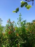 Flor de la granada Fotos de archivo