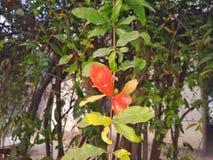 Flor de la granada con el brote fotografía de archivo libre de regalías
