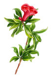 Flor de la granada de la acuarela ilustración del vector