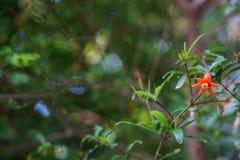 Flor de la granada de la primavera en fondo verde de la falta de definici?n Colores de la naturaleza imágenes de archivo libres de regalías